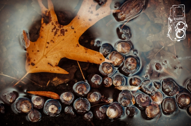 A water puddle with acorns & leaves at Lake Anna in Virginia